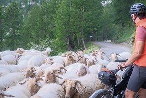 Ziegen- und Schafherde auf der Via del Sale