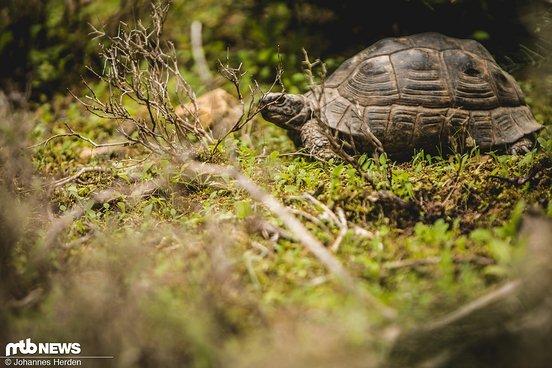 In Griechenland alles andere als ungewöhnlich. Praktisch jeden Tag sehen wir Schildkröten neben den Trails