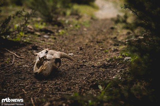 Ein Ziegenschädel auf dem Trail.
